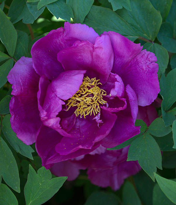 Tree peony - Purple flowers of the egg plant | Centro Botanico Moutan