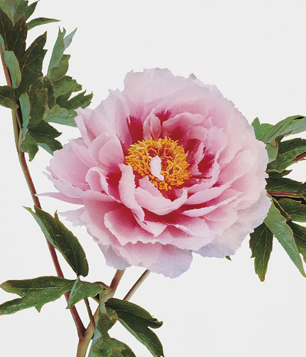 Tree peony - Variegated twin beauties (Hua Er Quiao) | Centro Botanico Moutan