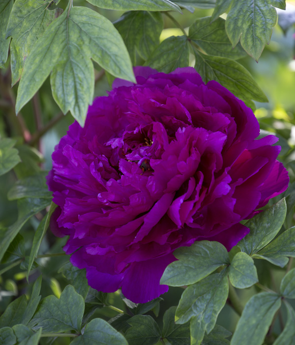 Tree peony - Gifts from the black dragon (Wu Long peng Sheng) | Centro Botanico Moutan