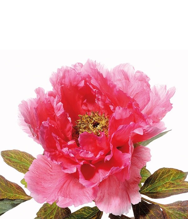 Tree peony - Rouge red (Zhi Hong) | Centro Botanico Moutan