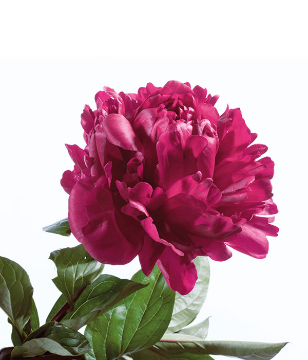 Herbaceous peony - Crimson colour with dropped leaves () | Centro Botanico Moutan