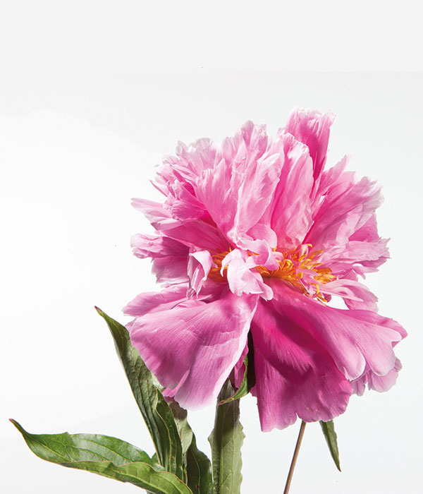 Herbaceous peony - Purple cry of contention () | Centro Botanico Moutan