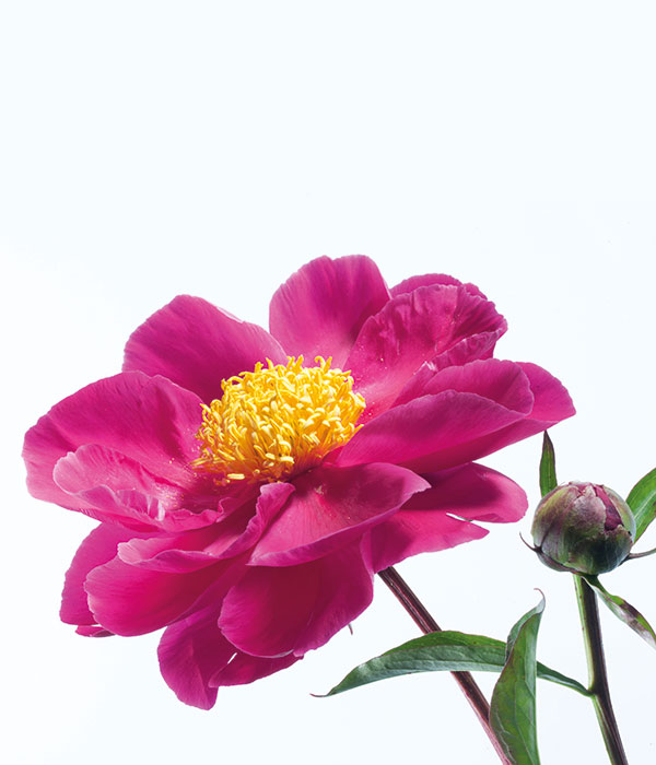 Herbaceous peony - Courageous warrior () | Centro Botanico Moutan