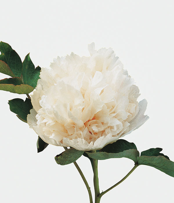 Tree peony - Gold and Jade interplay (Jin Yu Jao Zhang) | Centro Botanico Moutan