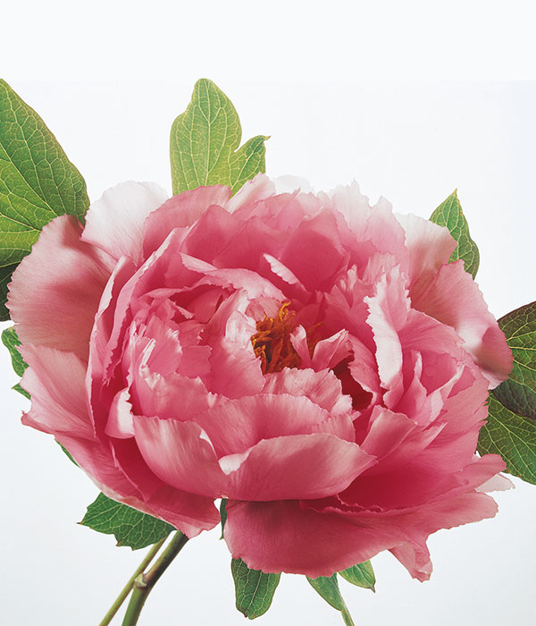 Tree peony - Smiling country maiden | Centro Botanico Moutan