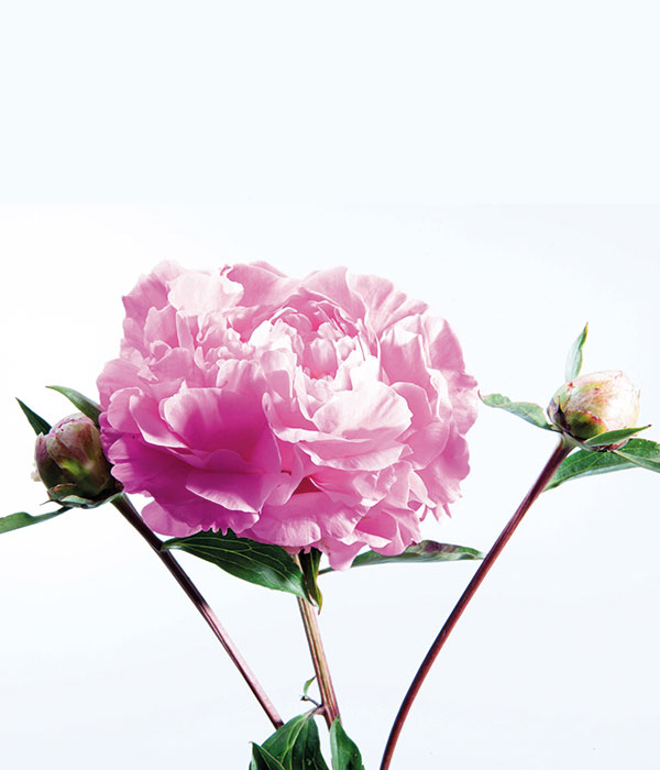 Herbaceous peony - Adolescent girl's dress () | Centro Botanico Moutan