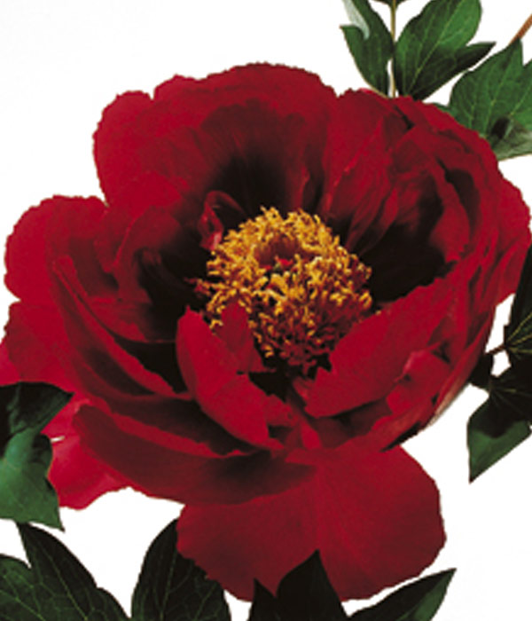 Tree peony - Red of the five continents (Hong Lian) | Centro Botanico Moutan