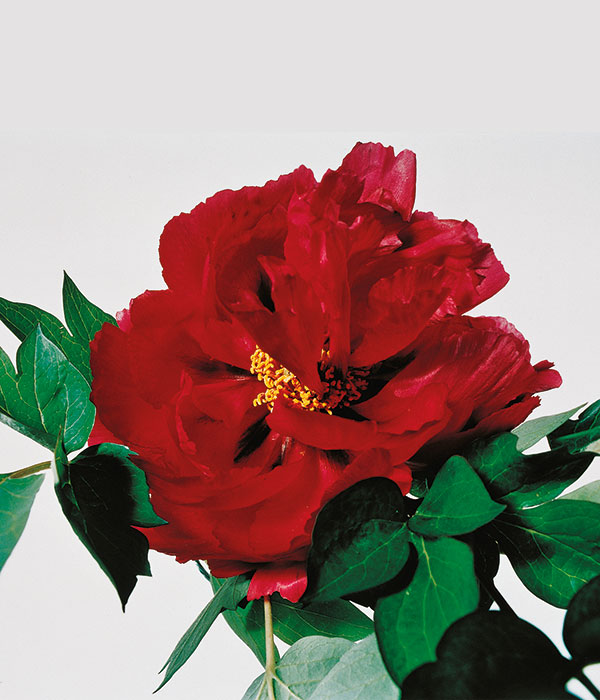 Tree peony - Red secret (Zang Zhi Hong) | Centro Botanico Moutan