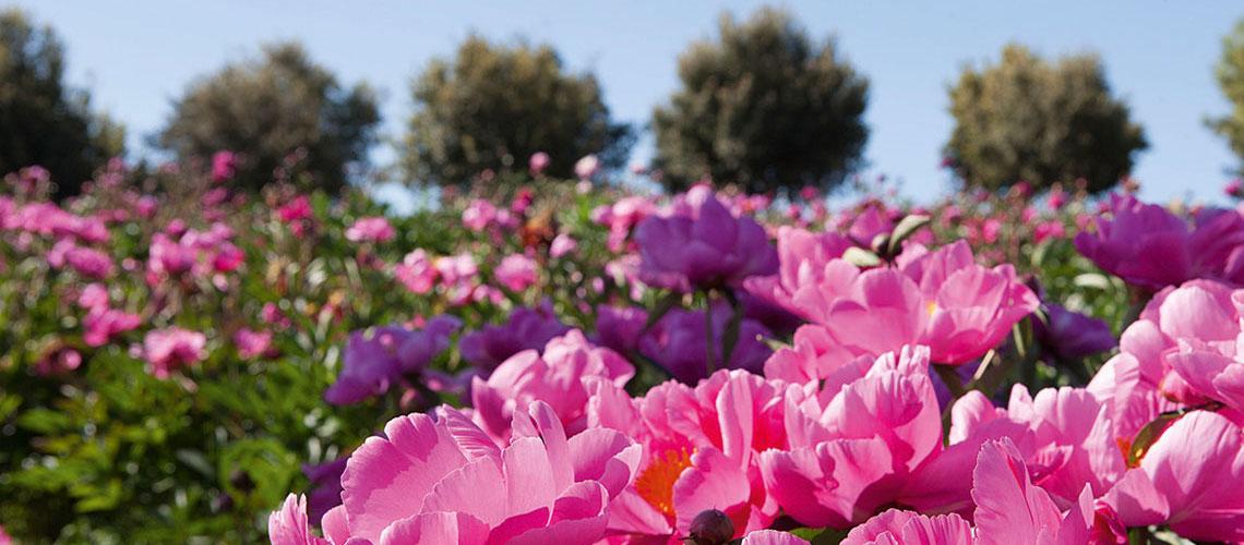 Coltivare le peonie erbacee centro botanico moutan for Peonie periodo